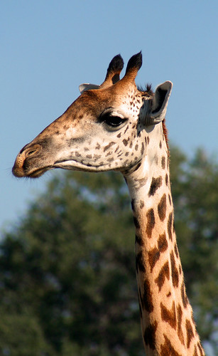 Giraffe, South Luangwa National Park, Zambia