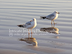 Seagulls' Reflections (intricate_imagery-Jack F Schultz) Tags: california seagulls west birds coast coastline pismo baech