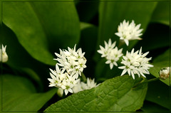 Ramson or wild garlic (bobspicturebox) Tags: flowers wild dog sun cup robin evening buttercup tea song sparrow tulip garlic mustard foxes flytipping creeping thrush ramson cuckooflower afternnoon soapwort vixon jackinthehedge