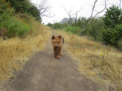 The infamous Miniature Devil Wolf (artfilmusic) Tags: dog maggie trail welshterrier