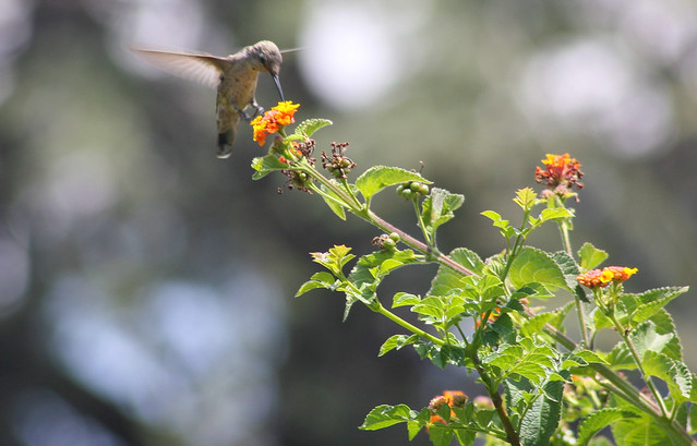 Hummingbird_at_Geek_Hill_2013-439