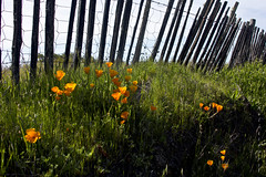 Roadside Decoration (San Francisco Gal) Tags: california wood plant nature grass fence landscape wire poppy sonomacounty eschscholziacalifornica