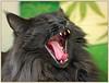 Moooom !!! (FocusPocus Photography) Tags: tongue cat feline chat kitty norwegian gato katze kater zunge longhaired htt luan norweger forestcat waldkatze norwegische impressedbeauty langhaarkatze alittlebeauty