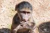 Baby Baboon (CD_MT) Tags: africa skyline southafrica flickr safari babybaboon d300 northerncape greatphotographers nikonflickraward barkleywest mygearandme meandmygear the~wonders~of~nature vigilantphotographersunite ubathi