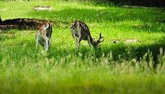 Deers (Ornaim) Tags: deer chamonix chevreuil leshouches parcdumerlet