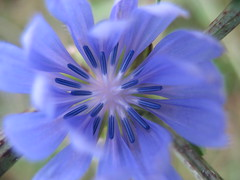 blue echo of  summer  ... (october blue (away)) Tags: floralfantasy thegalaxy awesomeblossoms