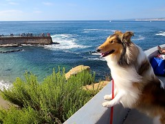 Pacific Ocean (HowtoLoveYourDog.com) Tags: ocean california sea summer dog pet dogs nature water beautiful animal canon collie surf waves sandiego sable canine shore rough southerncalifornia lassie collies canines roughcollie loveyourdogcom