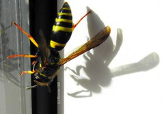 (c) Florette Hill : Wasp with shadow (© the-best-is-yet-to-come ©) Tags: ohhh abigfave anawesomeshot beautifulmonsters mirrorser mygearandme ringexcellence blinkagain