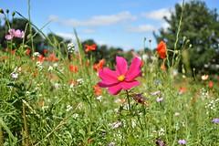DSC_0004 (jdco) Tags: park wild summer sky flower tree yorkshire leeds august westyorkshire chapelallerton 2013 photocontesttnc13