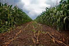 - (GletscherRockIce // Christopher) Tags: cornfield harvest lane 24mm