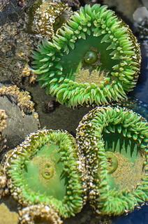 Giant Green Anemones