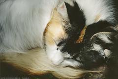 Nap Time VIII (unterihremkissen) Tags: sleeping cats film nature beautiful animals vintage feline nap grain greeneyes filmphotography myphotography photographersontumblr