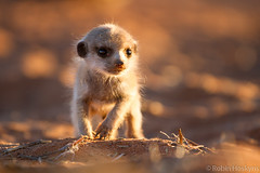 Pups ([[BIOSPHERE]]) Tags: southafrica meerkat pups kalahari