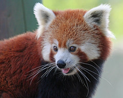 Red Panda (Buggers1962) Tags: portrait nature face animal closeup canon mammal zoo firefox panda close wildlife redpanda colchester colchesterzoo itsazoooutthere canon7d