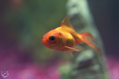 Gold fish (gold) (Qunaieer) Tags: fish water gold aquarium