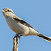 Shrike On a Stick