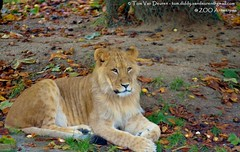 Afrikaanse leeuw - Panthera leo leo - African Lion (MrTDiddy) Tags: boy cat mammal zoo cub big kat feline leo african lion bigcat antwerp antwerpen zooantwerpen grote nestor leeuw panthera zoogdier welp afrikaanse grotekat