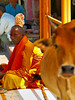En la India las vacas son primero -  In India cows are first (*atrium09) Tags: people india man men colors animal yellow cow amarillo sacred hdr buda vacas budista atrium09 sagradas rubenseabra