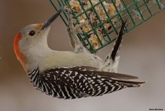 Red-bellied Woodpecker (Diane Marshman) Tags: red white black bird nature birds dark nose back wings eyes woodpecker feeding head pennsylvania wildlife tail gray beak feathers feeder pale size belly pa medium feed underneath northeast thick suet redbellied northeastern mygearandme