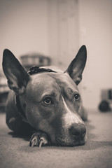 These Eyes (T-3 Photography) Tags: blackandwhite bw dog pet monochrome animal canon 50mm pit pitbull doggy niftyfifty 5dmarkii