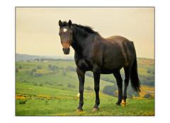 bob (AppleCrypt) Tags: portrait england horses horse painterly art animals painting photography artwork flickr farmland lancashire digitalpainting alienskin snapart applecrypt bobhorse