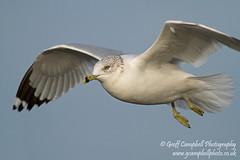 Ring-billed Gull (Larus delawarensis) (gcampbellphoto) Tags: bird gull american northernireland portrush rarity scarce ringbilledgull larusdelawarensis northantrim gcampbellphoto