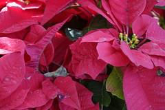 GREEN-WORLD (ddsnet) Tags: plant flower sony hsinchu taiwan cybershot       peipu greenworld  rx10  xmasflower    xmas flower