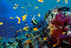 RF249181 (BOEM-OPA) Tags: ocean school fish color water animals swimming underwater wildlife nobody exotic busy variety multicolored reef naturalworld tropicalfish coralreef groupofanimals