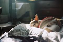 034 (HanPo Lin) Tags: family dog pet chihuahua film 50mm gold nikon kodak f14 taiwan 200 taipei fa ais