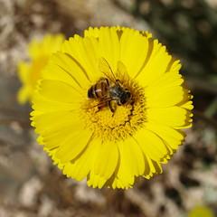 Bee on desert marigold (Distraction Limited) Tags: arizona tucson bees insects baileya baileyamultiradiata desertmarigolds