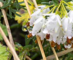 Water Droplets (glabaria) Tags: california santa santacruz plant flower macro reflection water grass droplets nikon drop cruz dew refraction twig ucsc 105mm