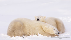 Mother Polar Bear With Cubs, Churchill, Manitoba (rarepic_in) Tags: bear travel family winter sleeping snow canada animals female mammal cub parents togetherness seasons wildlife mother scenic nobody manitoba arctic polarbear camouflage churchill northamerica daytime resting naturalworld babyanimal northamerican younganimal polarregions