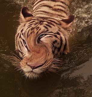 #CrazyCamera swimming tiger