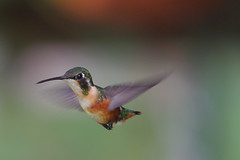 Colibr (Jos M. Arboleda) Tags: bird canon eos colombia hummingbird jose ave 5d colibr arboleda markiii coconuco apodiforme ef70200mmf4lisusm14x josmarboledac troquilinos