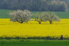 BALADE DANS LA CAMPAGNE D'AVRIL (jmsatto) Tags: fleurs arbres campagne avril colza olétusfotos