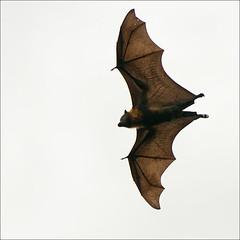 bairnsdale-3782-ps-w (pw-pix) Tags: feet flying wings cloudy fingers bat flight overcast australia victoria bones flyingfox hooks bairnsdale greyheadedflyingfox pteropuspoliocephalus eastgippsland megabat mitchellriver