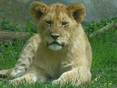 Lion Cubs (ak82984) Tags: luke lion zuri leia marylandzoo