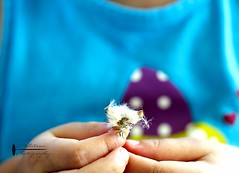 Make a wish... (butterflyashes) Tags: flower macro spring hands toddler daughter dandelion wish makeawish canon60d ewhitsonphotography