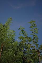 Olha só quem eu achei! (Vagner Eifler) Tags: brasil portoalegre céu lua nuvem árvore riograndedosul entardecer teresópolis