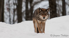 _DSC6329 Coyote (Jacques-Taillefer) Tags: coyote omega loup parc montebello outaouais omga