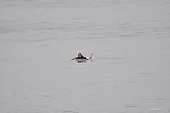 DSC_0050 (Juliana Beletsis) Tags: lajolla surfing