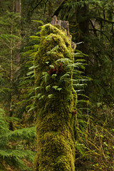 Old tree covered in moss and ferns at Silver Falls National Park, Oregon (Anna Calvert Photography) Tags: park trees nature water oregon creek landscape moss spring unitedstates silverton hiking trails canyon recreation ferns pathways silverfallsnationalpark