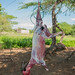 Goat flayed for Christmas