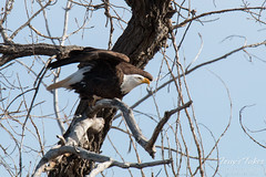 Bald Eagle ready to launch!