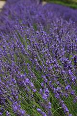 Lavendel (ISO 69) Tags: france frankreich lavender provence lavendel sénanque abbeydesénanque