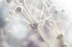 Lomandra (judith511) Tags: flower spiky seeds highkey lomandra