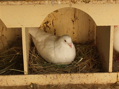 A pigeon in his coot (oldandsolo) Tags: fauna zoo pigeon dove uae abudhabi unitedarabemirates columbidae zoologicalgardens emiratesparkzoo pigeoncoot samhaabudhabi