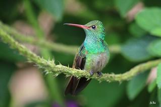 Le Colibri ...