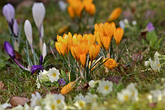CA4A4122 (janoschg) Tags: flower germany stuttgart blume krokus badenwrttemberg canoneos5dmarkiii canon5dmarkiii stuttgart2016 stuttgartmrz2016
