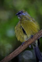 IMGP5519 Bellbird male Zealandia Wellington NZ 10-05-16 (Donald Laing) Tags: new birds native donald zealand wellington sanctuary laing zealandia